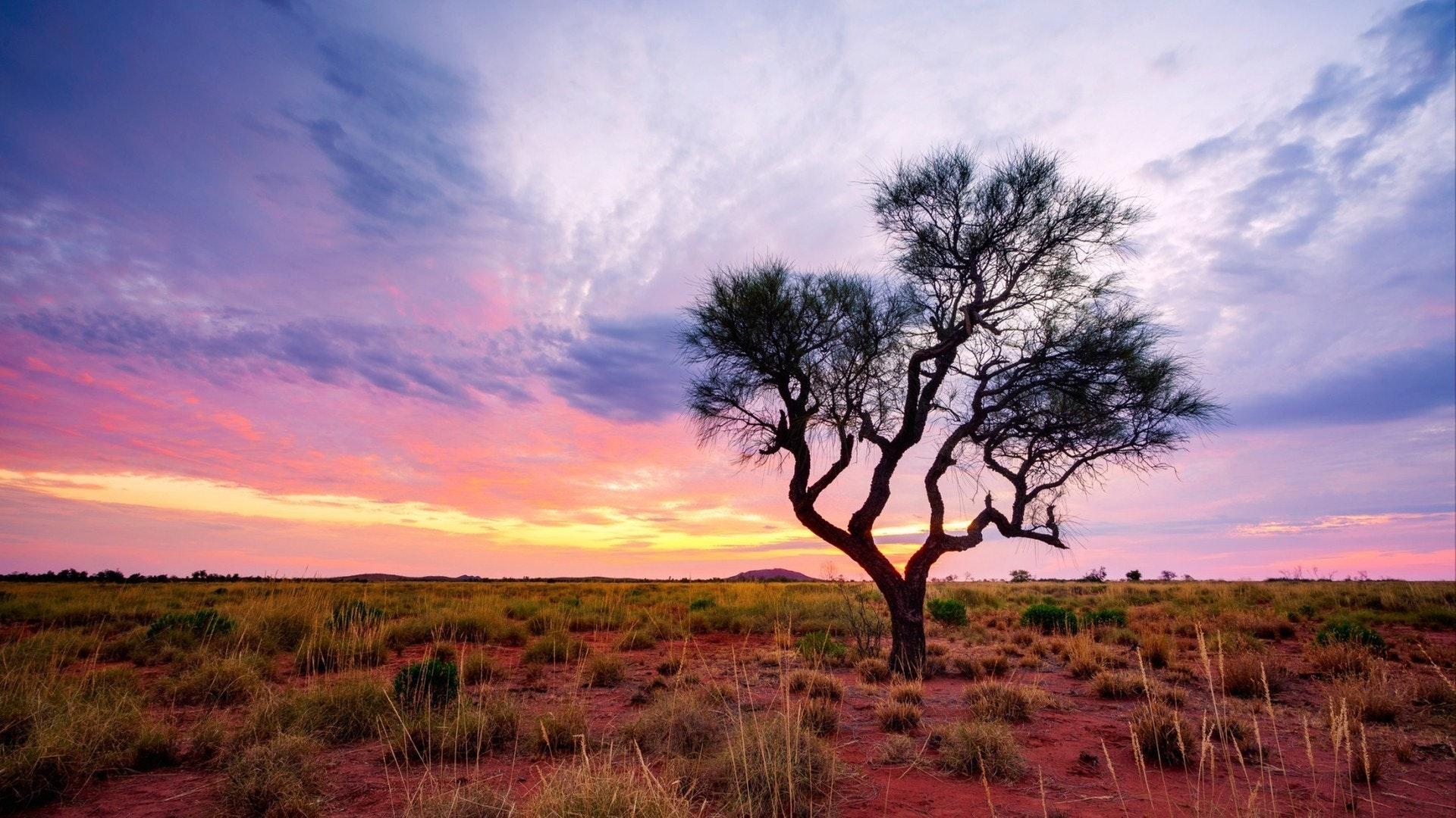 Uma árvore Hakea fica sozinha no interior australiano durante o pôr-do-sol