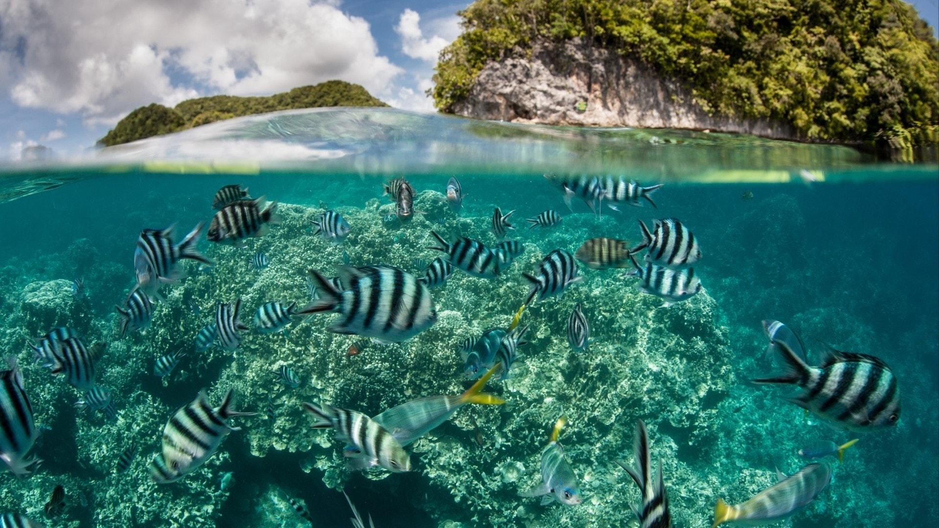 Damselfish swim in shallow water in Palau's inner lagoon