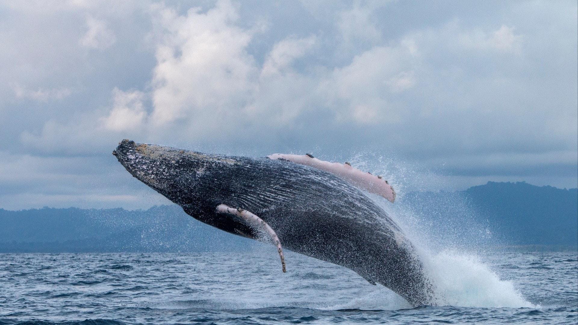 座头鲸跳出水关闭努基在哥伦比亚海岸。