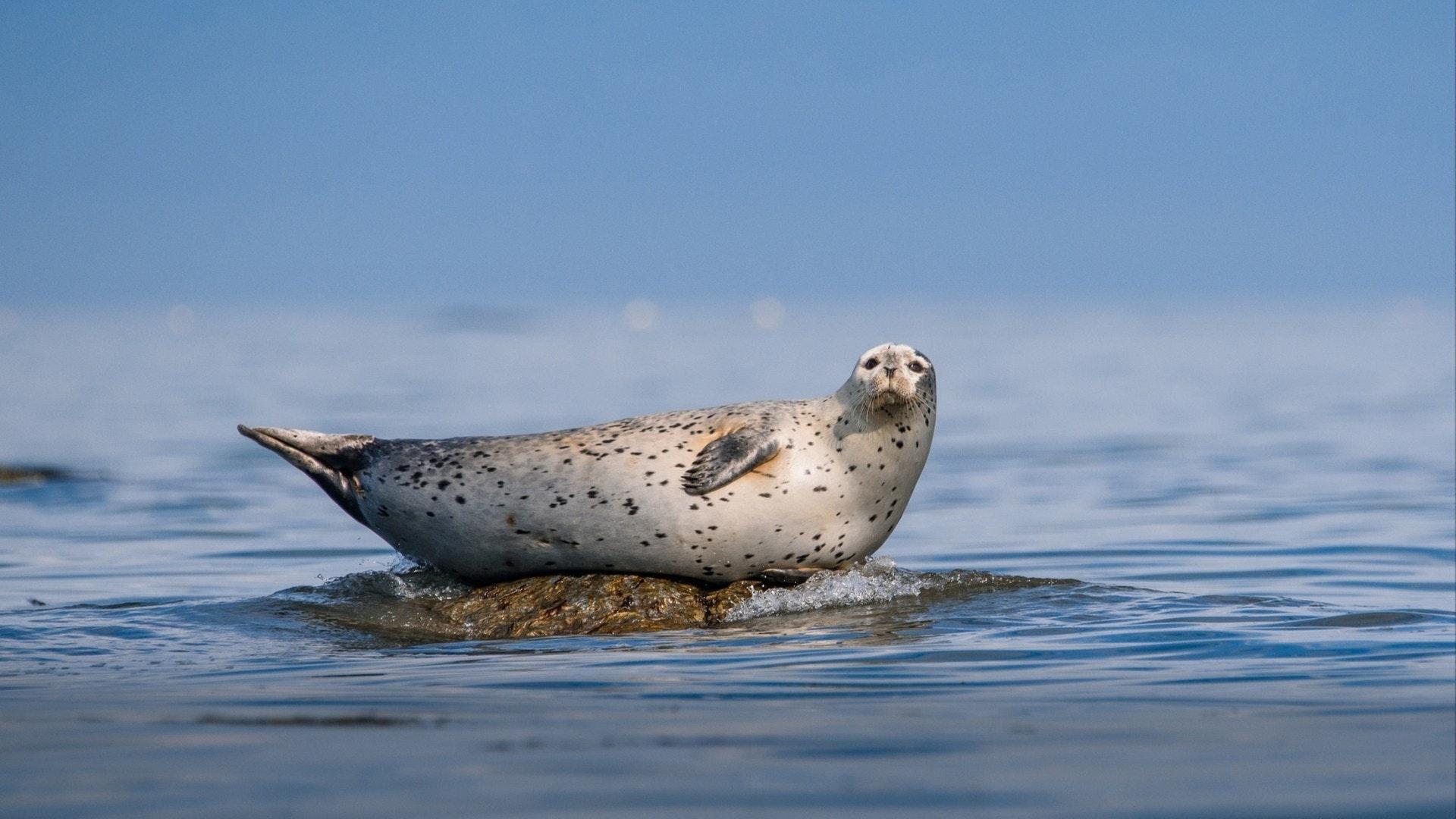 アザラシはオホーツク海の小さな岩の上に休息しています