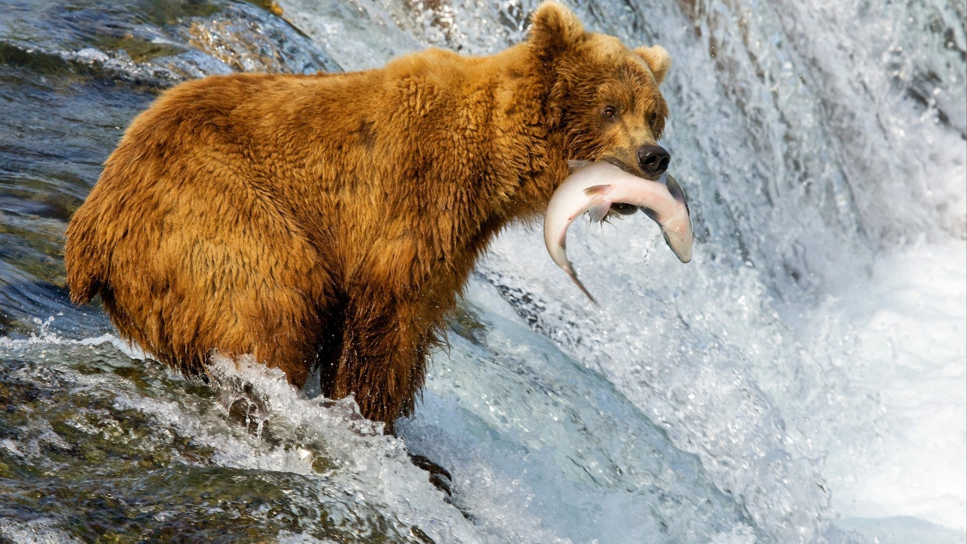 Alaska. Bears catch fish.