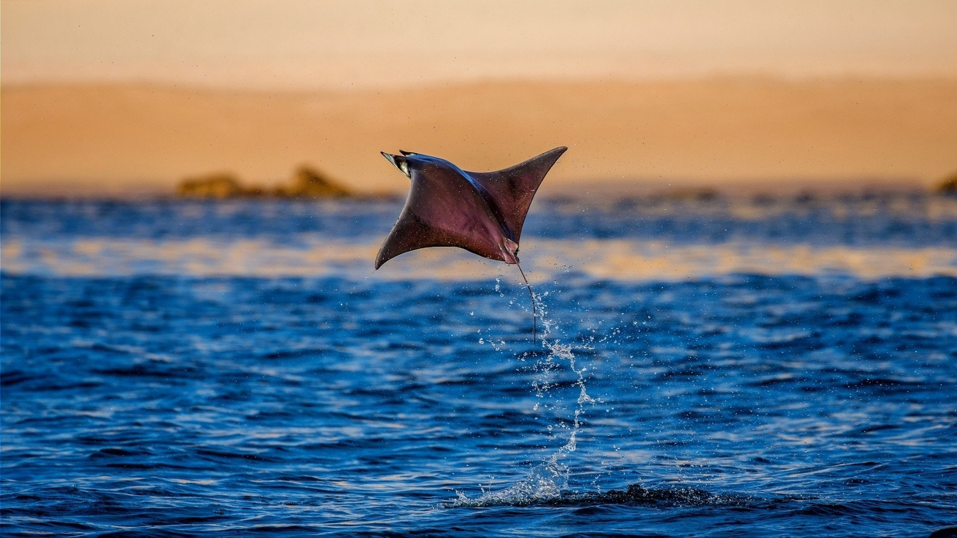 Mobula ray jumping of the beach of Cabo San Lucas, Mexico