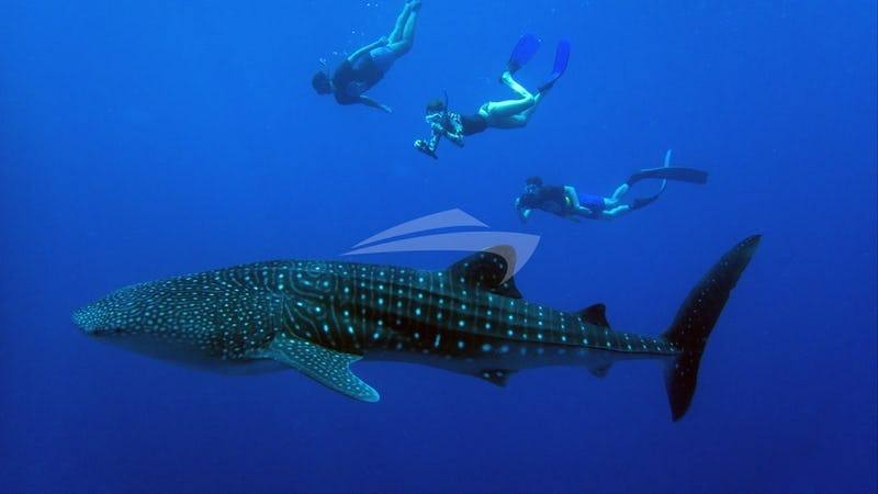 Whaleshark Encounters in the Maldives