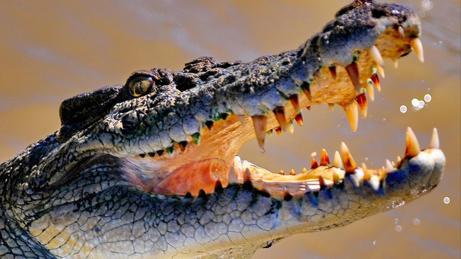 Соленая вода крокодил Австралия