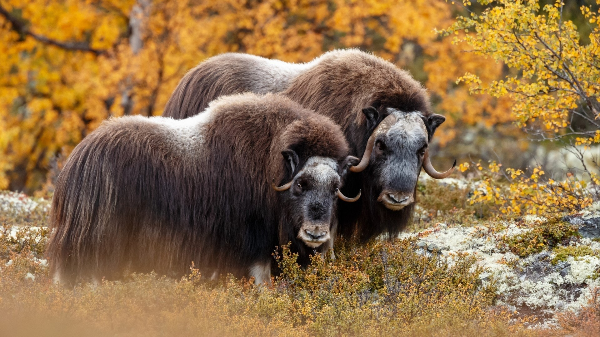 Musk-ox in nature in a autumn setting.