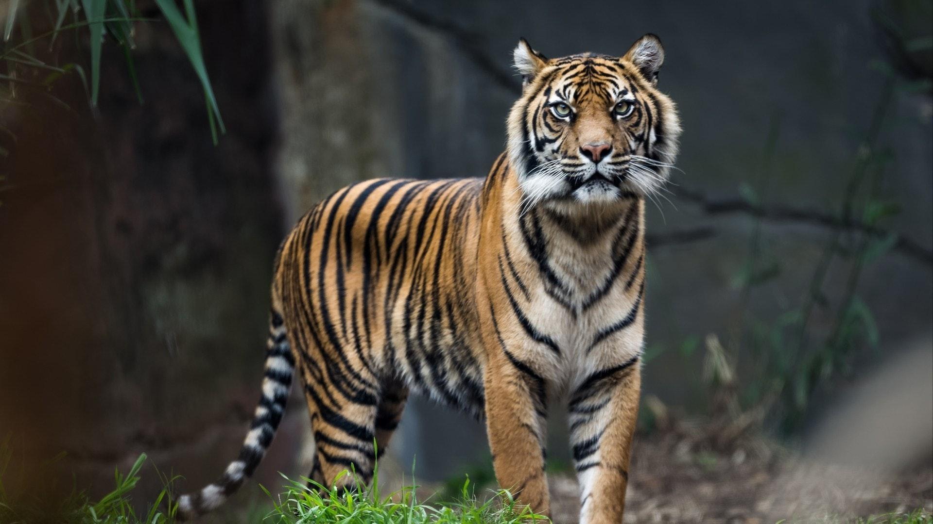 カメラ見て草に立つスマトラ虎