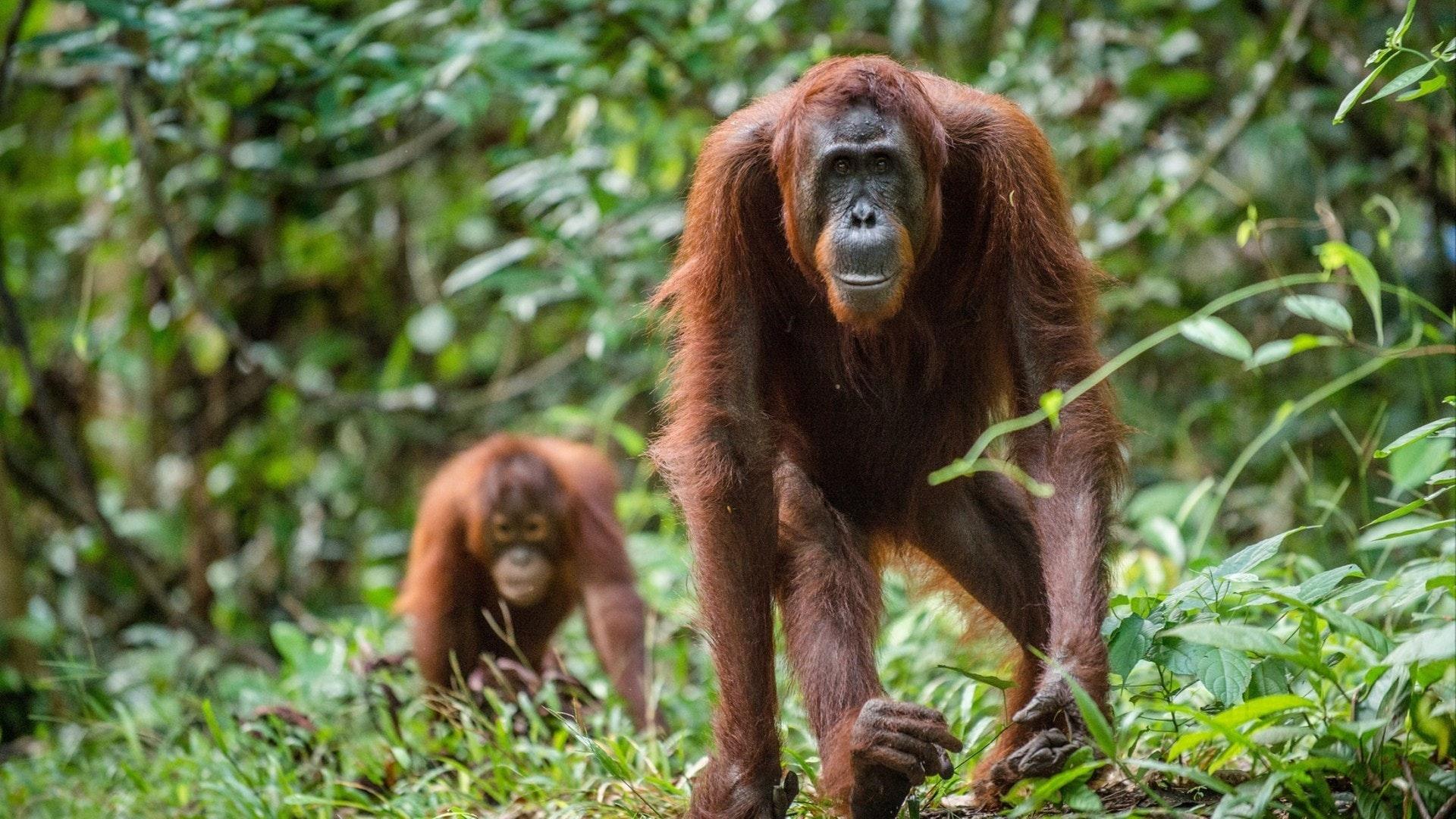 Orangotango bornéu na natureza selvagem