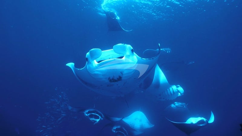 AZALEA :: Manta Ray Diving