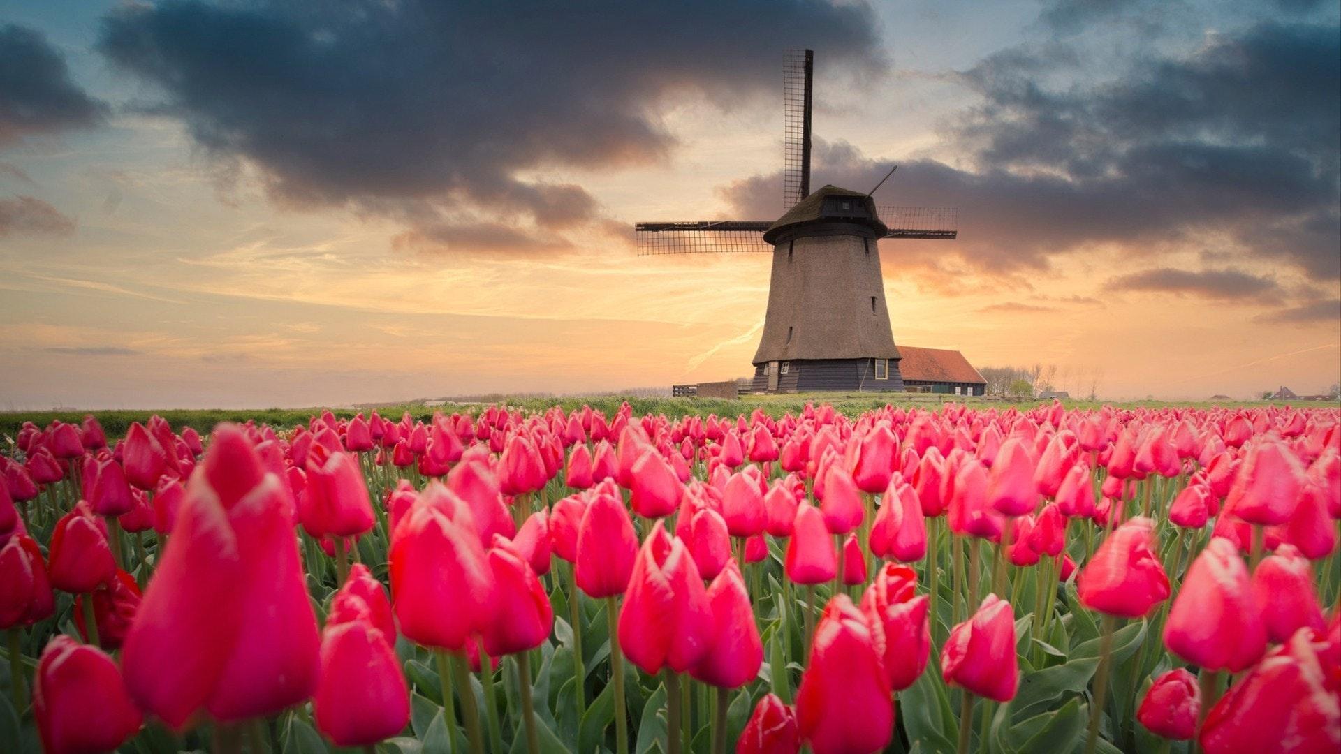 Поля тюльпанов и ветряная мельница в Нидерландах