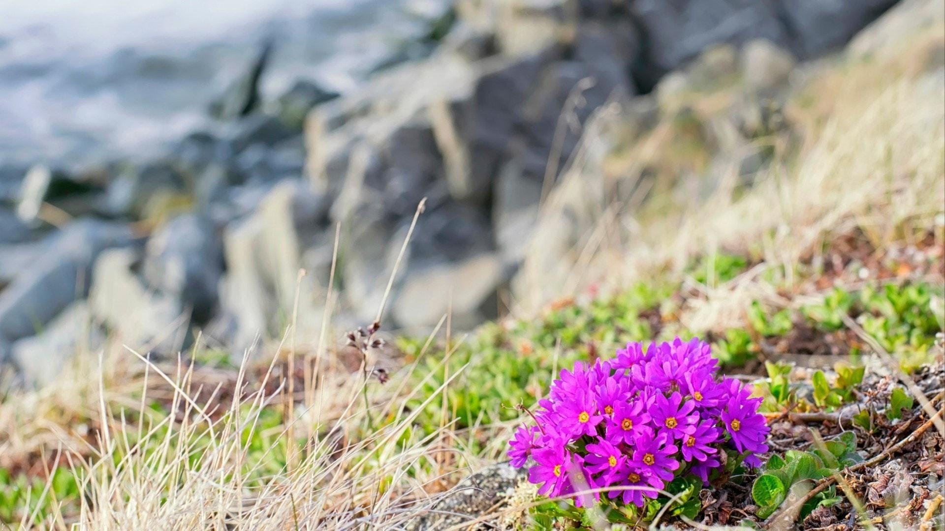 岩の上に花が咲くプリムラ