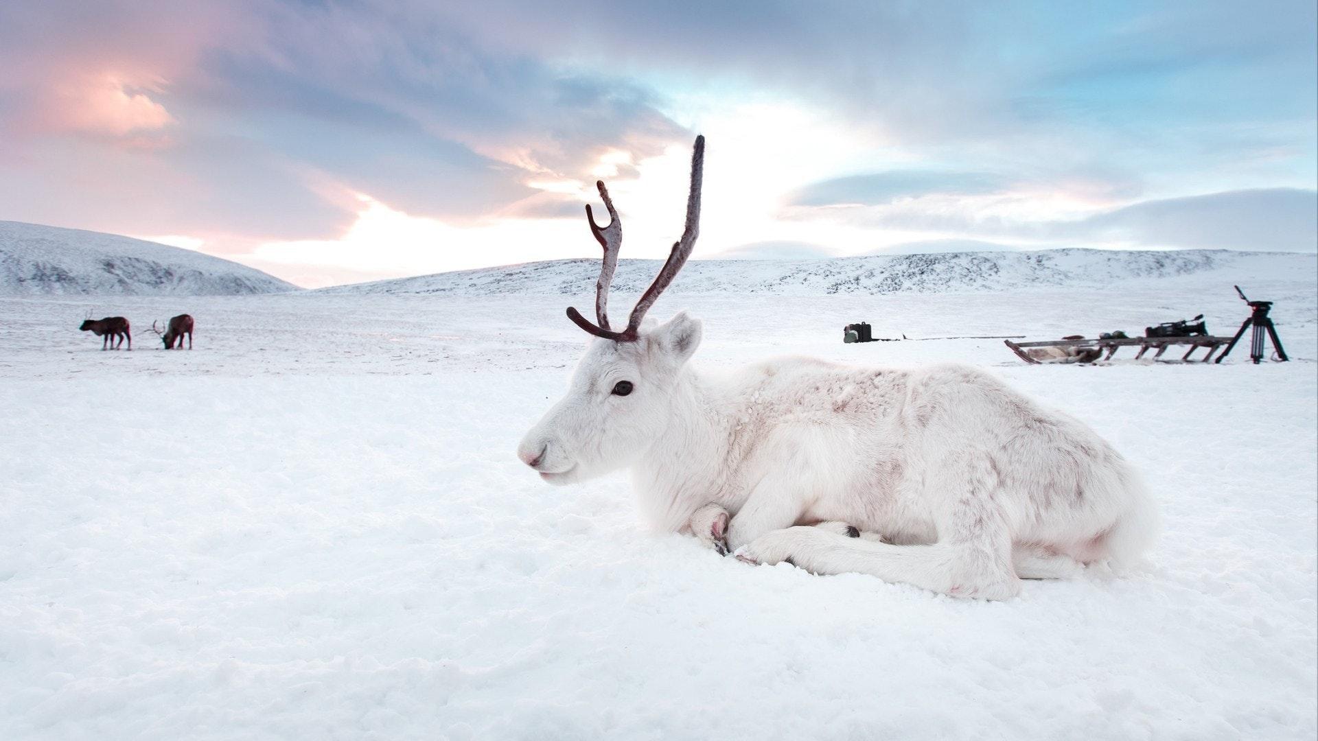 シベリア、ロシア、ヤマルの砂漠で冬の白い鹿